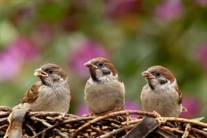 sparrows-797995_1280